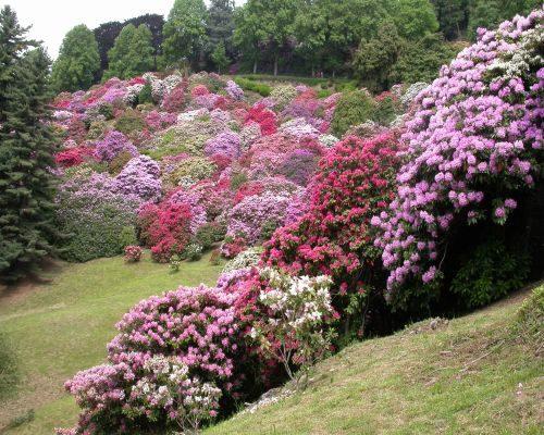 Parco Burcina, gioritura dei rododendri, foto C. Cravello